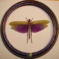 Сувенир - Кузнечик в рамке Titanacris albipes. Оригинальный и неповторимый подарок!