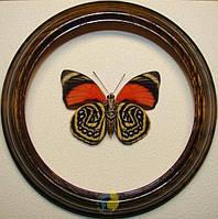 Сувенир - Бабочка в рамке Agrias amydon tryphon. Оригинальный и неповторимый подарок!