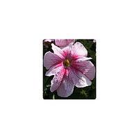 Семена Петуния грандифлора Виртуоз F1 Малиновая Raspberry 1000 драже Kitano Seeds