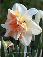Луковичные растения Нарцисс махровый Replete