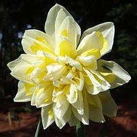 Луковичные растения Нарцисс махровый Irene Copeland