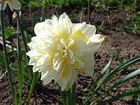 Луковичные растения Нарцисс махровый Ice King