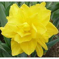 Луковичные растения Нарцисс махровый Golden Ducat