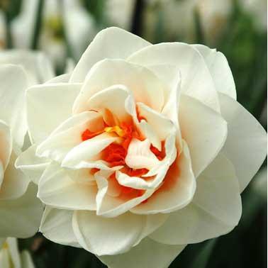 Луковичное растение Нарцисс корончатый с махровою короной Flower Drift 12/14