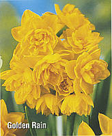 Луковичное растение Нарцисс мультицветковый Golden Rain, фото 1
