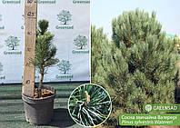 Сосна обыкновенная Ватерери (Watereri), 40-60 см