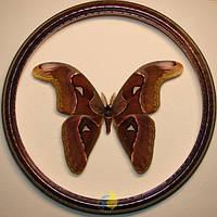 Сувенир - Бабочка в рамке Attacus lorquini m. Оригинальный и неповторимый подарок!