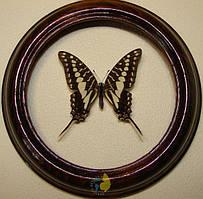 Сувенир - Бабочка в рамке Graphium porthaon. Оригинальный и неповторимый подарок!