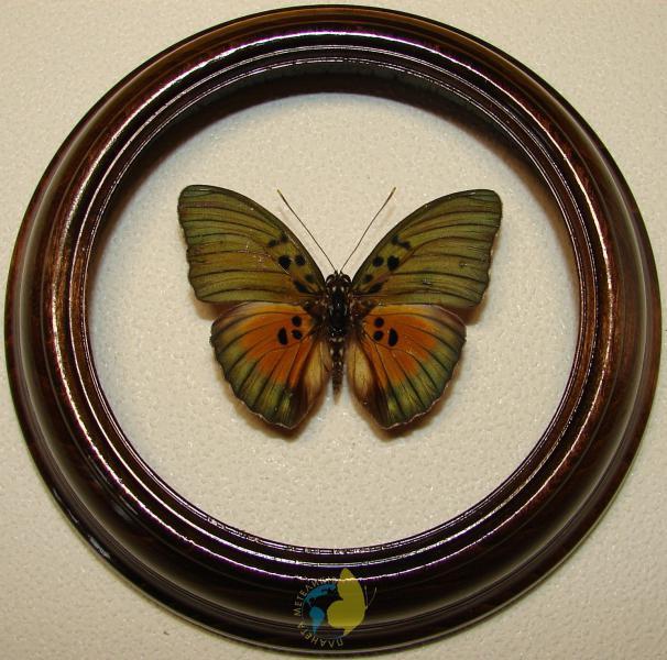 Сувенир - Бабочка в рамке Euphaedra edwardsii. Оригинальный и неповторимый подарок!