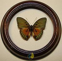 Сувенир - Бабочка в рамке Euphaedra edwardsii. Оригинальный и неповторимый подарок!, фото 1