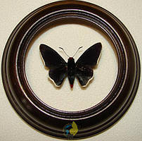 Сувенир - Бабочка в рамке Passova passova. Оригинальный и неповторимый подарок!