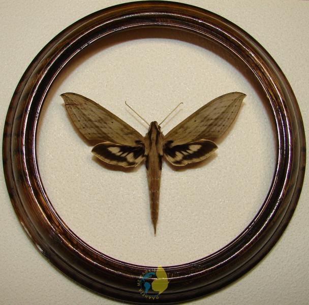 Сувенир - Бабочка в рамке Xylophanes anubis. Оригинальный и неповторимый подарок!