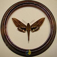 Сувенир - Бабочка в рамке Xylophanes crotonis. Оригинальный и неповторимый подарок!