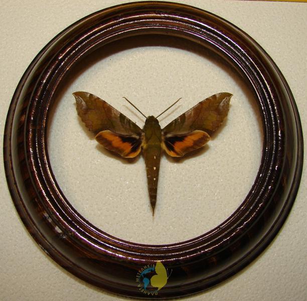 Сувенир - Бабочка в рамке Xylophanes pluto. Оригинальный и неповторимый подарок!