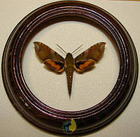 Сувенир - Бабочка в рамке Xylophanes pluto. Оригинальный и неповторимый подарок!, фото 1