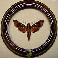 Сувенир - Бабочка в рамке Callionima inuus. Оригинальный и неповторимый подарок!