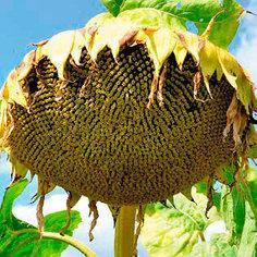 Семена подсолнечника Анцилла (стандарт)