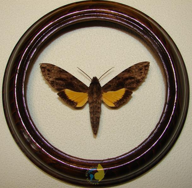 Сувенир - Бабочка в рамке Iisognathus leachi. Оригинальный и неповторимый подарок!