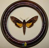 Сувенир - Бабочка в рамке Iisognathus leachi. Оригинальный и неповторимый подарок!, фото 1