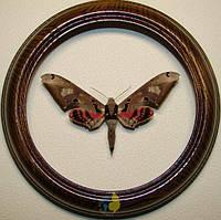 Сувенир - Бабочка в рамке Adhemarius gannascus gannascus m. Оригинальный и неповторимый подарок!
