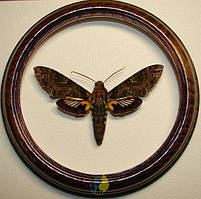Сувенир - Бабочка в рамке Cocytius duponchel m. Оригинальный и неповторимый подарок!