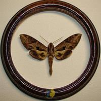 Сувенир - Бабочка в рамке Eumorpha pandorus. Оригинальный и неповторимый подарок!