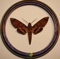 Сувенир - Бабочка в рамке Pachylia ficus. Оригинальный и неповторимый подарок!