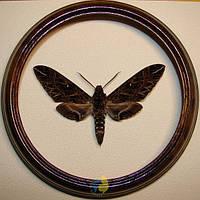 Сувенир - Бабочка в рамке Euryglottis dognini. Оригинальный и неповторимый подарок!