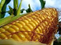 Запорожский 333 МВ (Семена Кукурузы в мешке 25 кг)
