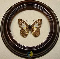 Сувенир - Бабочка в рамке Catasticta hegemon hegemon. Оригинальный и неповторимый подарок!