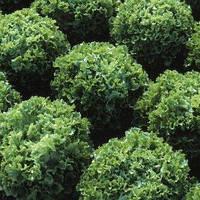 Салат зелений тип батавія Фрістіна 5гр. Hazera