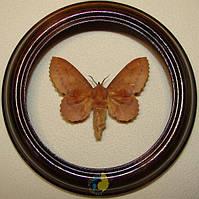 Сувенир - Бабочка в рамке Gastropacha quercifolia f. Оригинальный и неповторимый подарок!