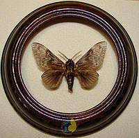 Сувенир - Бабочка в рамке Megalopyge albicollis. Оригинальный и неповторимый подарок!