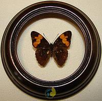 Сувенир - Бабочка в рамке Adelpha irmina. Оригинальный и неповторимый подарок!