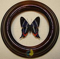 Сувенир - Бабочка в рамке Rhetus dysonii. Оригинальный и неповторимый подарок!