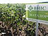 Подсолнечник МАТАДОР под Гранстар, Сумо. Держит заразиху шести рас A - F Урожайный, Устойчив к засухе. ВНИС