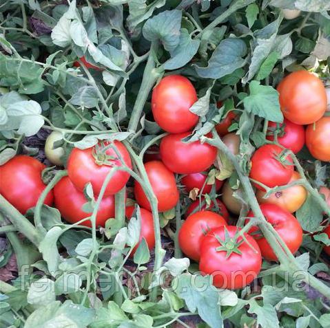 Семена томата Айваз 331 F1 \  Ajvaz F1 500 семян Enza Zaden