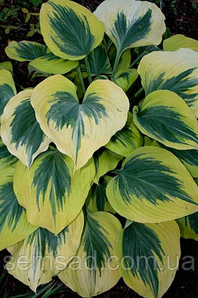 Hosta hybrida  Liberty ( Либерти ), фото 2