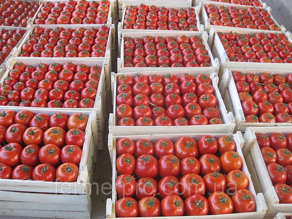 Семена томата Имран F1 / Imran F1 500 семян Enza Zaden