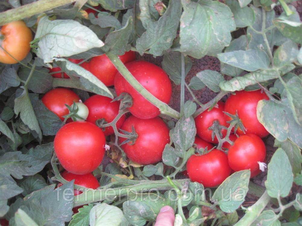 Семена томата Юсуф 408 F1 / Yusuf 408  F1  500 семян Enza Zaden