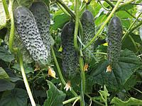 Семена огурца Сигурд F1 \ Sigurd F1 500 семян Enza Zaden