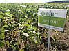 Подсолнечник ДРАКОН под гербицид Гранстар,  Урожайный подсолнечник Гибрид устойчив к заразихе