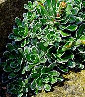 Каменеломка Котиледон \ Saxifraga cotyledon ( саженцы)