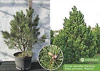 Сосна обыкновенная Ватерери (Watereri), 80-100 см