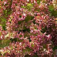 Салат Шар малиновый 0.5 г (Зиппер)