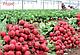 Семена редиса Селеста F1 \ Celesta F1 50.000 семян фракция 2.75-3.0 Enza Zaden, фото 3
