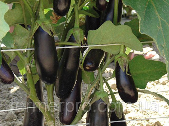 Семена баклажана Дестан F1 \ Destan F1 10 грамм Enza Zaden