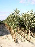 Саженцы яблони  (Симиренка, Джонаголд, Голден Делишес, Флорина, Мутсу )