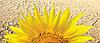 Семена подсолнечника БОСФОРА (A-F)