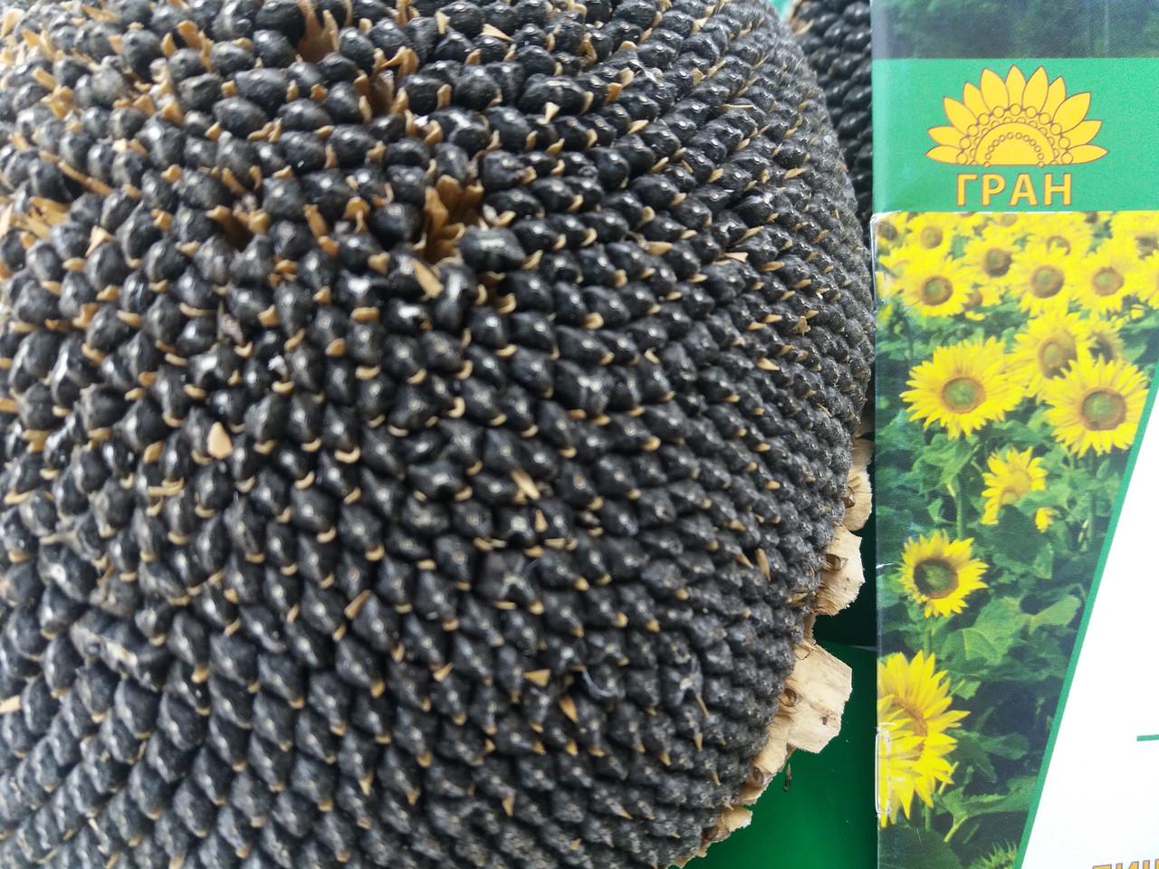 Семена подсолнечника под Гранстар НЕО, Урожайный гибрид, Подсолнечник устойчив к шести расам заразихи